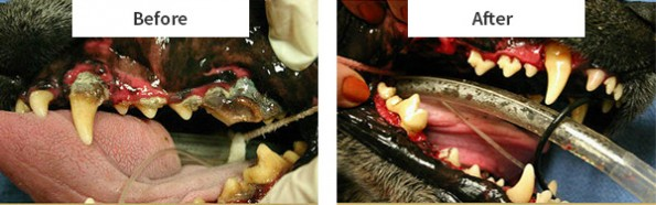 This is an advanced case of dental disease. However we frequently see mouths in this condition. This infection in the gums can result in the pet swallowing and be bombarded with huge amounts of bad bacteria. This can lead to heart and kidney disease.  Once thing advance to this it can be hard to save all the teeth. But with proper dental hygiene the mouth can be greatly improved and the risk to systemic disease virtually eliminated.